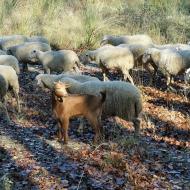 La cabra presumida